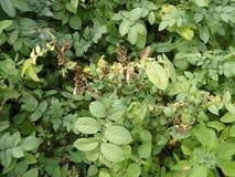 Листья картошки с заболеваниями, Стоковое Изображение RF
