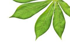 Листья кассавы стоковое изображение rf