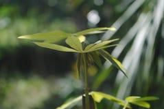 Листья кассав Стоковые Фото