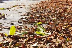 Листья каштана в осени Стоковая Фотография