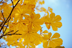Листья каштана осени сфокусируйте мягко Стоковое Изображение RF