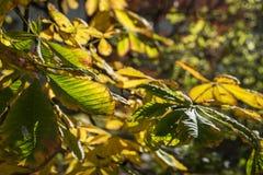 Листья каштана осени Стоковые Изображения