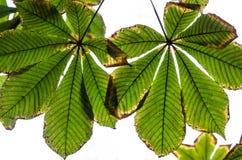 Листья каштана осени Стоковая Фотография RF
