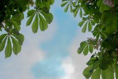 Листья каштана против неба стоковые фотографии rf