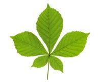 листья каштана Стоковое Изображение