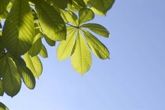 листья каштана Стоковая Фотография RF