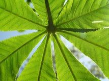 листья каштана Стоковое фото RF