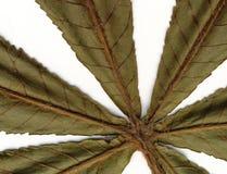 листья каштана Стоковые Изображения RF