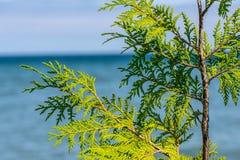 Листья кедра с Lake Michigan в предпосылке Стоковое Фото