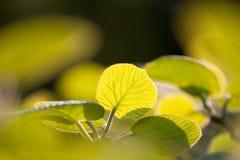 листья кивиа Стоковая Фотография RF