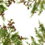 листья кипариса граници Стоковое Изображение