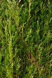 листья кипариса Стоковое Изображение