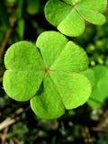 листья клевера Стоковое Изображение RF