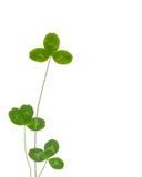 листья клевера Стоковая Фотография