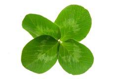 листья клевера Стоковое Фото