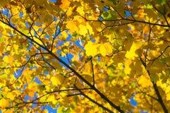 Листья клена падения Стоковая Фотография