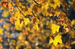 Листья клена падения Стоковые Фото