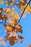 Листья клена падения Стоковое фото RF
