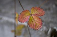 Листья клубник красного и желтого цвета на серой предпосылке Стоковые Изображения RF