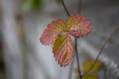 Листья клубник красного и желтого цвета на серой предпосылке Стоковое Фото