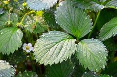 Листья клубник сада в дождевых каплях Стоковое Изображение