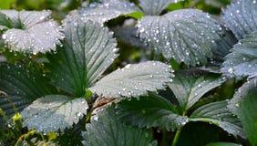 Листья клубник сада в дождевых каплях Стоковое Изображение RF