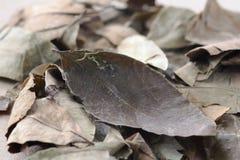 листья коки Стоковые Изображения RF