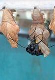листья кокона бабочки стоковое фото