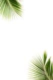 Листья кокоса. Стоковая Фотография