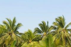Листья кокосовой пальмы с голубым небом Стоковое Изображение