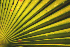 Листья кокосовой пальмы Стоковое фото RF