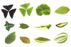Листья комнатного растения изолированные на белой предпосылке Стоковое Фото