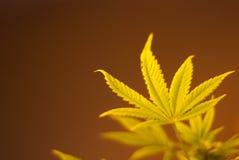 листья конопли Стоковая Фотография