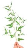 Листья конопли в руке Стоковые Фото