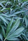 Листья конопли с росой Стоковое Изображение