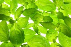 листья конца базилика предпосылки свежие вверх Стоковые Изображения RF