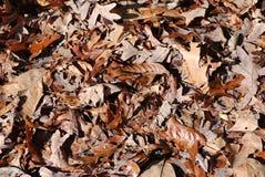 листья коричневого цвета Стоковая Фотография