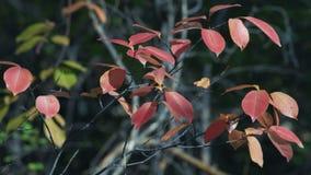 Листья красного бука в осени сток-видео