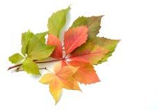 Листья красного вина Стоковые Фотографии RF