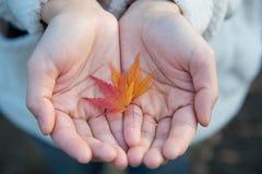 Листья красного клена, который держит молодая дама Стоковая Фотография