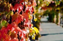 Листья красного цвета в осени Стоковая Фотография RF