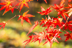 Листья красного цвета в Backlight Стоковое Изображение