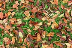 Листья красного цвета лежа на зеленой траве Стоковая Фотография