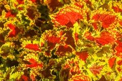 Листья красного цвета и желтого цвета аргентинского завода Стоковая Фотография RF