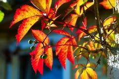 Листья красного цвета и желтого цвета и ягоды дерева на солнечном свете Стоковое Изображение