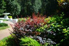 Листья красного цвета и зеленого цвета завода coleus, сада на Москве Стоковое фото RF