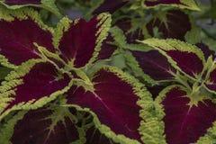 Листья красного цвета и зеленого цвета тропического завода Стоковые Изображения