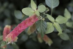 Листья красного цвета и пинка тропического завода Стоковое Фото
