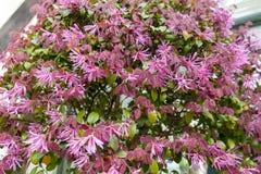 Листья красного цвета и розовые цветки завода кустарника края Loropetalum китайского во время цветения приправляют стоковое изображение rf