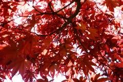 Листья красного цвета клена в осени Стоковое фото RF